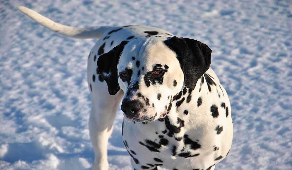 Dalmatian   RuffChamp.com